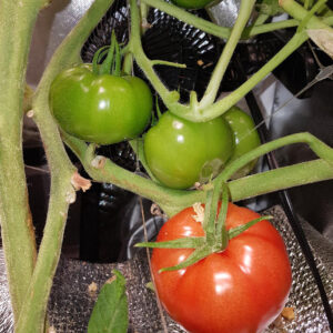 hydrojardinage tomates