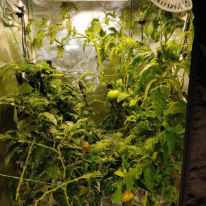 hydrojardinage tomates piments